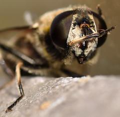 12 mm female drone fly (ophis) Tags: syrphidae diptera eristalis dronefly eristalinae eristalini eoseristalis eristalisdimidiata