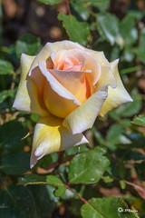 _VMG3175 (V.Maza) Tags: barcelona abejas naturaleza flores spain flora nikon catalunya rosas jardines rosal airelibre rosceas d7100