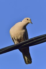 _MRC3287 (Obsies) Tags: birds pigeon paloma d4s sigma300800 sigmonster