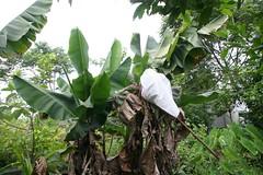 IMG_0006   Musa paradisiaca L. (h35312) Tags: l musa   musaceae zingiberales paradisiaca img0006