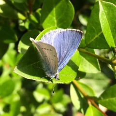 Holly Blue butterfly (_jons_) Tags: nature butterfly insect wildlife naturephotography wildlifephotography iphonephoto iphonephotography
