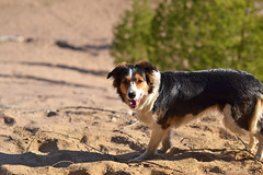 DSC_1594T (juliannahiaasen) Tags: portrait dog pet dogs animal training photography bordercollie australianshepherd dogphotography dogtraining dogportrait dogphotographer