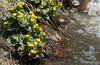Populage des marais / Marsh Marigold (alain.maire) Tags: plant canada flower nature fleur yellow jaune plante quebec marshmarigold calthapalustris kingcup populagedesmarais rnunculaceae