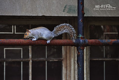 Workin' the Pole (Hi-Fi Fotos) Tags: urban cute nature animal mammal nikon squirrel critter wildlife sigma railing d5000 18250mm hallewell hififotos