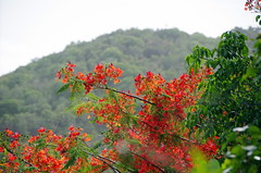 Flamboyan Tree (sarowen) Tags: flowers red orange flower delonixregia flamboyant vieques flamboyan floweringtree royalpoinciana viequespr viequespuertorico