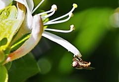P5192172 (eriko_jpn) Tags: insect whiteflower fly honeysuckle wildflower