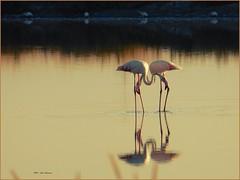 Synchron ... (aNNa schramm) Tags: fauna wasser flamingos saline cervia fenicotteri phoenicopteridae flamantsroses