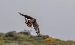Tartaranhão-cinzento (Circus cianeus) Hen Harrier- Covelães - 2016-05-28