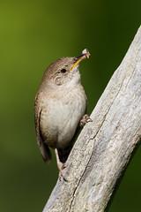 HouseWren_53F5684 (~ Michaela Sagatova ~) Tags: bird housewren birdphotography michaelasagatova michaelcanon
