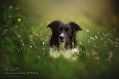 - Collin - (tycampbe) Tags: light dog pet pets dogs animal animals licht collie border hund hunde 500px ifttt