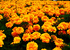 Yellow. (Fabio Scalvinoni.) Tags: world morning flowers party summer hot flores flower color verde green nature beautiful leaves june yellow photography photo petals spring perfume expo natural year snap petal giallo iphone 2015 paesage iphone365