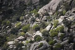 Spring among granite (ramosblancor) Tags: madrid naturaleza primavera nature landscape spring paisaje granite granito lapedriza sierradeguadarrama batolito batolith