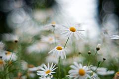 Daisy on the light (dedi.santana87) Tags: nikon fujinon flowers m42 55mm manual frime lens bokeh