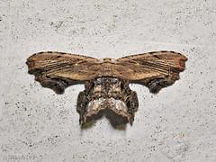 Dysaethria erasaria, Uriiidae Epipleminae (Green Baron Pro) Tags: jelaibungalow 200902 frasershill moth uriiidae epipleminae malaysia