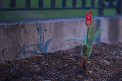 4/17/2016 - Medford/Somerville, MA - A tulip blooms on Professors Row on Sun Apr 17, 2016. (Ray Bernoff / The Tufts Daily) (consolecadet) Tags: flowers plants college nature campus university tulips daily tufts tisch tuftsuniversity tischlibrary tuftscampus tuftsdaily