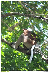 Malaisie - Parc National de Bako (olivierzeworld) Tags: mars national sarawak borneo nez parc kuching bako singe malaisie 2016 nasique