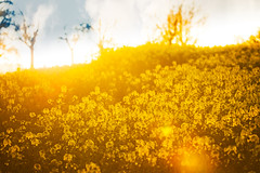 Rapsblte (memories-in-motion) Tags: blue light plant nature yellow backlight canon eos golden licht air natur pflanzen sigma gelb 7d blau blte raps contrejour gegenlicht markii brassicanapus vulkaneifel rapsblte eifelsteig canoneos7dmarkii 150600mmf563dgoshsm|sports