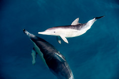 Dolphins (bobbyloomba) Tags: sea australia dolphins adelaide