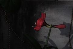 (noji-ichi) Tags: flower japan tokyo    summar