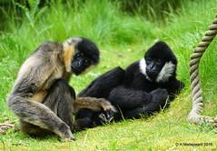 Witwanggibbon Mizzi, links op de foto (ditmaliepaard) Tags: monkey sony safaripark beeksebergen apen 50jaar hilvarenbeek a6000 witwanggibbonmizzi