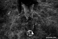 Hombre VS. Hombre.  #CharlieJara #Lima #Perú #CerrodePasco #Huayllay #Fotografía #Gente #Foto #Animal #Sacrificio #StreetPhoto #FotografíaCallejera #StreetPhotography (Charlie.Jara) Tags: huayllay charliejara lima perú cerrodepasco fotografía gente foto animal sacrificio streetphoto fotografíacallejera streetphotography