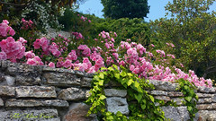 Balcic (Aly D.) Tags: balcic trandafiri roses pink roz flori flowers gradina garden balchik bulgaria jardin