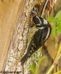 Downy Woodpecker (orencobirder) Tags: birds woodpeckers flickrexport largebirds