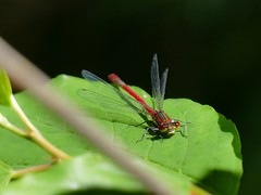 Frhe Adonislibelle (Ina Hain) Tags: red male rot nature water animal wasser dragonfly natur moor libelle insekt schilf mnnchen adonislibelle fz1000 sterntalerfilzen panasonicfz1000