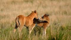 Meet and Greet (JDWCurtis) Tags: wild horses horse nature animals southwales wales nationalpark wildlife breconbeacons wildanimal wildhorses foal foals breconbeaconsnationalpark wildfoals
