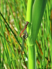 Large Red Damselflies (JulieK (had forgotten what hard work puppies are)) Tags: iris fauna insect wing mating invertebrate beautifulnature largereddamselfly pitchandputt hhd hihd jamesokeeffeinstitute canonixus170