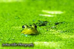 Hiding (Joshua Eller) Tags: green nature wildlife amphibian frog marsh algae hiding conowingo susquhannariver