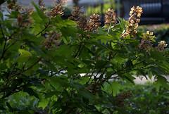 IMG_0138.CR2 (jalexartis) Tags: flowers summer flower blossom bloom hydrangea shrub shrubbery driedflowers oakleafhydrangea driedblossoms driedblooms