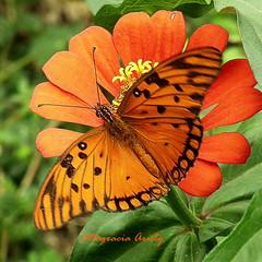 Mariposa/Butterfly (Altagracia Aristy) Tags: laromana quisqueya repblicadominicana dominicanrepublic caribe caribbean carabe antillas antilles trpico tropic amrica mariposa butterfly borboleta papillon farfalla volatineradelgolfo gulffritillary agraulisvanillae altagraciaaristy fujifilmfinepixhs10 fujifinepixhs10 fujihs10