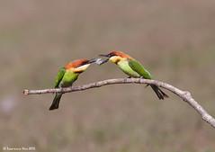 Chestnut-headed Bee-eater (Merops leschenaulti) @ Khao Yai National Park, Thailand_20120312_0162 (LawrenceNeo) Tags: chestnutheadedbeeeater
