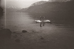 Swans heart ~ (Celesis) Tags: bw lake snow black como mountains love water landscape lago heart kodak stones trix grain bn swans 400 soviet doom discomfort fed ramo lombardia lecco lagodicomo cigni manzoni russiancameras swansheart celesis