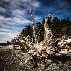 Deadwood (steveeshom) Tags: trees beach clouds log stump rialtobeach 2010olympicpeninsulagetwawayweekend