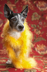 """Lady Dogiva"" (❀Patti-Jo) Tags: portrait dog pet girl yellow glamour jrt boa fancy moxie jackrussellterrier highqualitydogs"