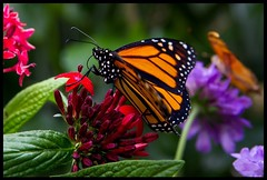 Monarch Butterfly (Silver1SWA (Ryan Pastorino)) Tags: canon butterfly sandiego monarch 7d tamron tamron2875