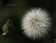 En busca de la luz.... (.... belargcastel ....) Tags: espaa macro planta canon spain galicia campo pontevedra dientedelen eos60 belargcastel belnargeso kddlagunasdesanxenxo