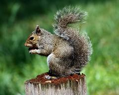 Squirrel On Stump E5 8 x 10 (Michael A Tipton) Tags: nc squirrel cornelius wow1 wow2 jettonpark squirrelonstump worldofnaturethebest michaelatipton