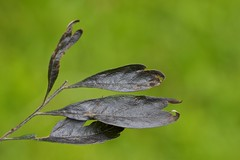 Leaf beauty (Deb Jones1) Tags: brown macro nature beauty leaves canon garden botanical outdoors leaf flora flickrduel debjones1