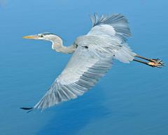 Blue On Blue... (ragtops2000) Tags: blue arizona detail nikon colorful chandler 70200 sunbird d300 gbh specanimal birdperfect mygearandme mygearandmepremium mygearandmebronze mygearandmesilver mygearandmegold
