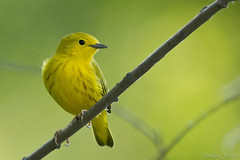 Yellow Warbler (ashley_138) Tags: canon montana yellowwarbler warblers passeriformes 100400 passerines parulidae setophagapetechia
