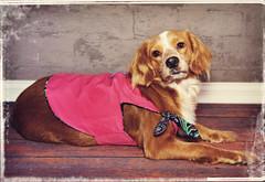 new dog birds lady sundress doginclothes cockerspanielmix montgomerycountyanimalshelter