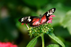 Doris Longwing (Penny Hyde) Tags: butterfly shared safaripark