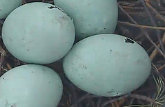 Pips in Great Blue Heron eggs (Laura Erickson) Tags: blue heron great pip eggs cornell