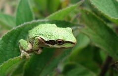 Leap Frog (Stolen Faces) Tags: macro sony cybershot frog treefrog leapingfrog