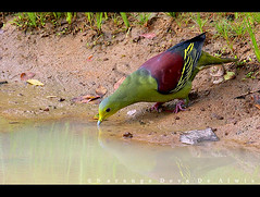 Birds of Sri Lanka , Species No 108 (Sara-D) Tags: green birds forest nationalpark asia pigeon wildlife aves sl sri lanka jungle srilanka ceylon pompadour lk yala southasia sarad columbidae columbiformes yalanationalpark greenpigeon asianwildlife treron saranga pompadora pompadourgreenpigeon dryzone birdsofsrilanka treronpompadora sarangadevadealwis birdsofsouthasia sarangadeva