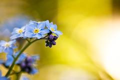 (~janne) Tags: plant flower nature flora natur pflanzen olympus forgetmenot 70300mm blume zuiko vergissmeinnicht myosotis janusz e520 ziob