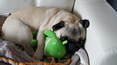 Android plush with pug (trophygeek) Tags: sleeping dog cute free pug lazy creativecommons opensource androidphone cuttled